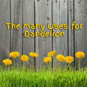Uses for Dandelion