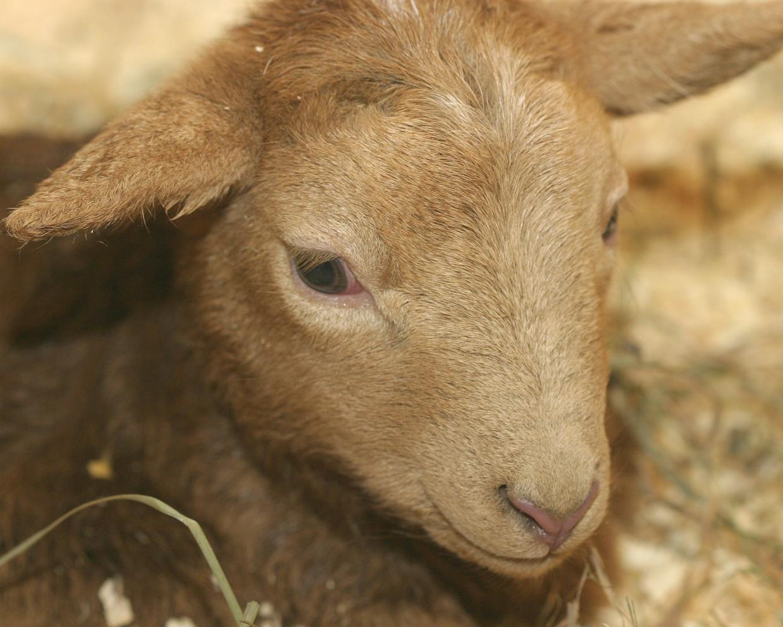 Katahdin Ram Lamb — Sold