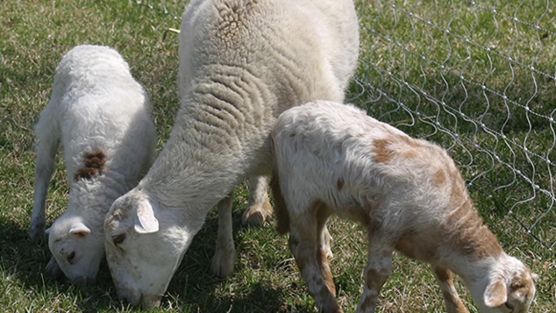 2 Katahdin ewe lambs — Sold
