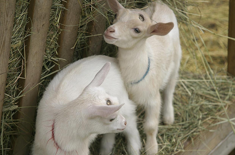 Two Nigerian Dwarf goat doelings for sale —SOLD