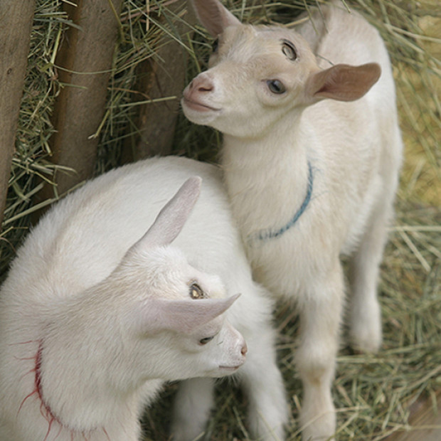 Two Nigerian Dwarf goat doelings for sale —SOLD