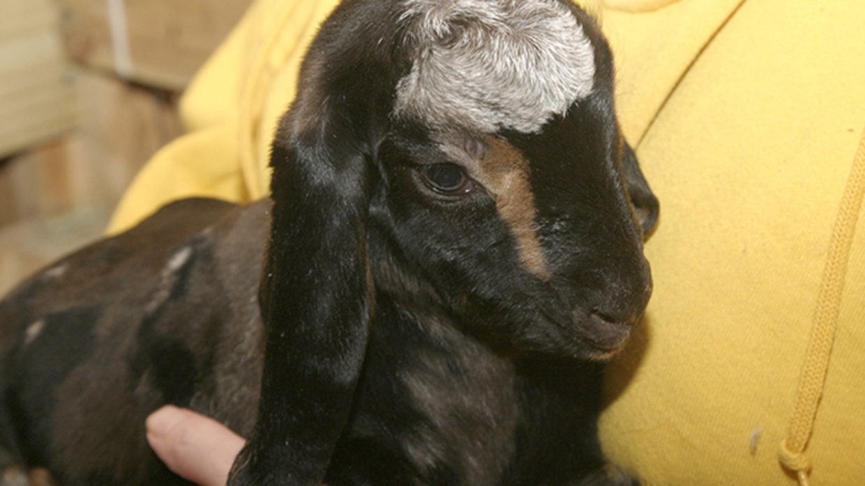 Sable the adorable Nubian Doeling goat—SOLD