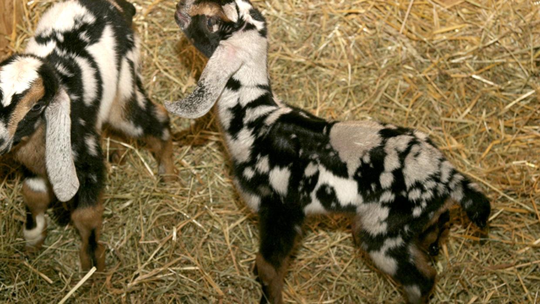 Poppy the Nubian Goat Doeling —SOLD